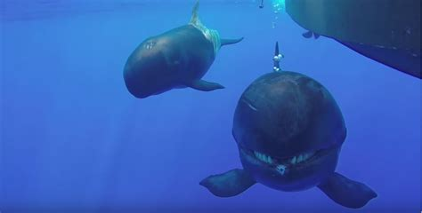 Rare footage takes us up close with false killer whales