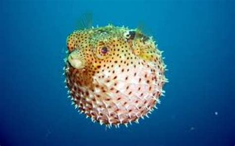 10 Interesting Puffer Fish Facts | My Interesting Facts