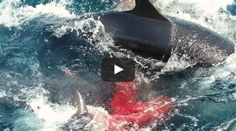 WATCH: False Killer Whale gives birth right in front of