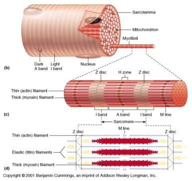 Histology of muscle myofibril and sarcomere | Skeletal