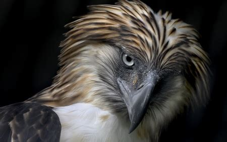 Philippine Eagle - Birds & Animals Background Wallpapers