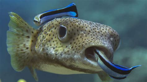 Parasites Slow The Brain, Cleaner Fish Make Their Clients