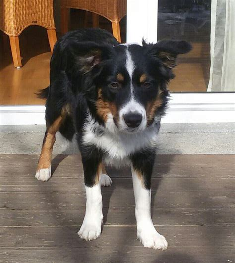 Border Collies From Pascales Memory - Therapiehunde