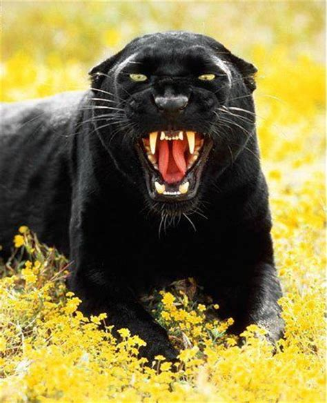 Panther lying down & roaring   Big cats, Animals wild