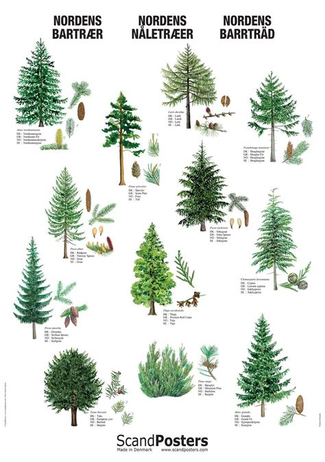 Coniferous Tree Poster in 2020 | Conifer trees, Tree