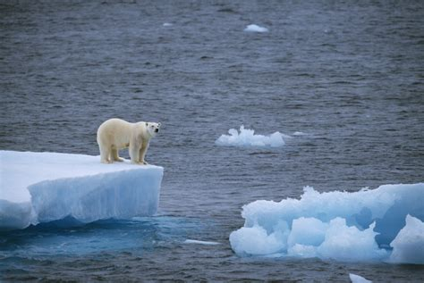 Eating on Land Unlikely to Save Polar Bears