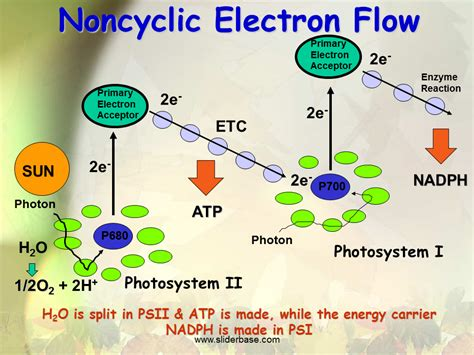 Two Parts of Photosynthesis - SliderBase