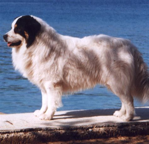 Tornjak Breed Guide - Learn about the Tornjak