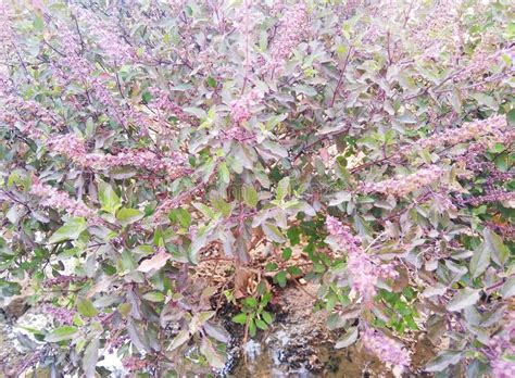 Ocimum Tenuiflorum Plant With Purple Color Flowers And