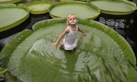 Victoria Water Lily Biggest In The World