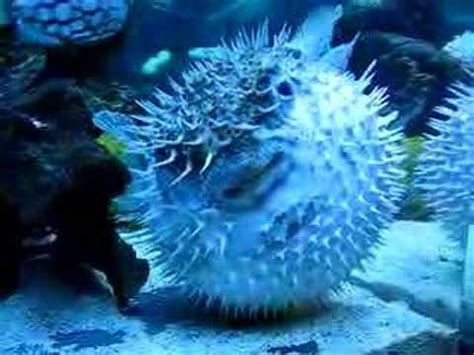 fat spiny puffer - YouTube