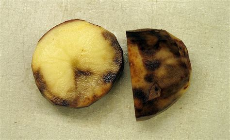 Scientists sequence potato genome to boost blight fight