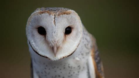 Owls do fly: Barn owls spreading after hitching to NZ in
