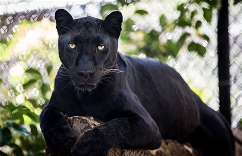 black leopard panther wild cat predator face is sports